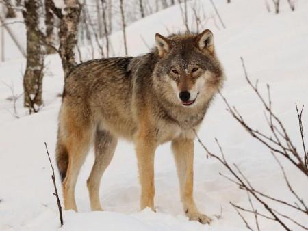 Ulver og kraftdyr