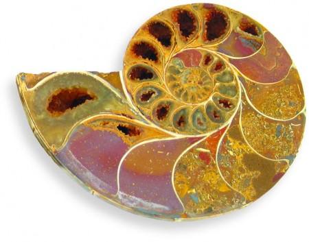 Ammonitt